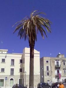 Palma storica in piazza Castello attaccata dal punteruolo rosso. Foto di Pasquale di Pilato